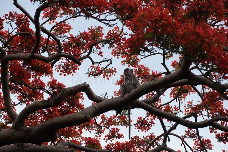 Una scimmia e fiori rossi su un albero nella provincia di Battambang, Cambogia immagini stock libere da diritti