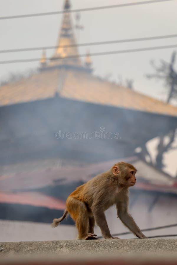 Una scimmia e un tempio di Pashupatinath nel contesto fotografia stock libera da diritti