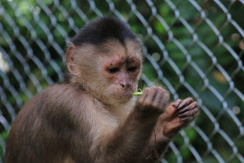 Una scimmia grigia del cappuccino, albifrons di cebus mangiante una cavalletta fotografia stock