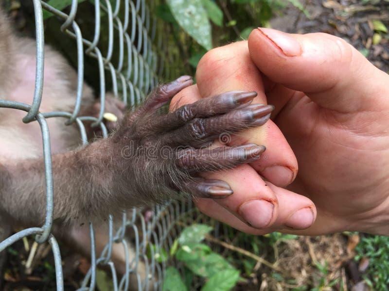 Una scimmia ingabbiata che mostra la sua fiducia dando la sua mano ad un essere umano fuori della gabbia immagini stock