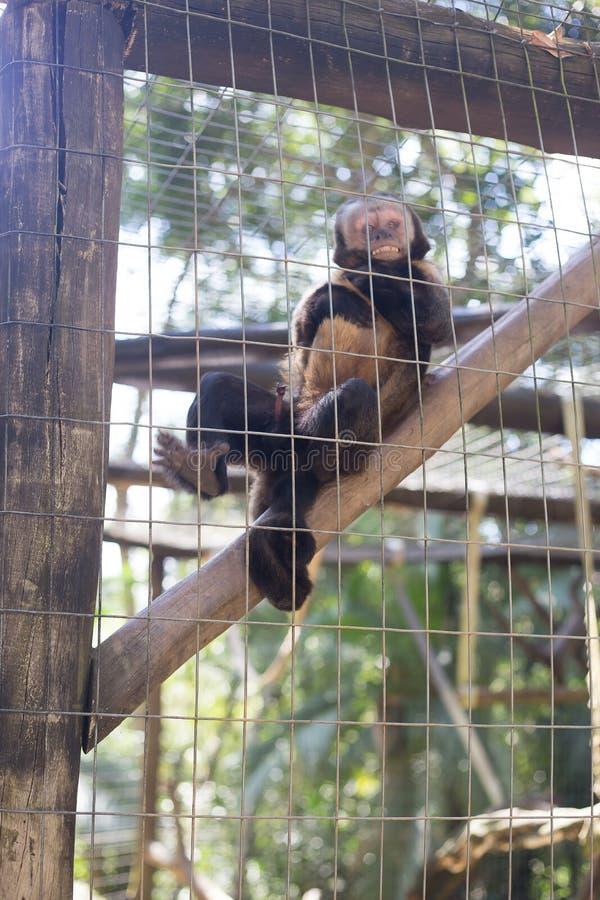Una scimmia sta facendo la posa nella gabbia, fotografia stock libera da diritti