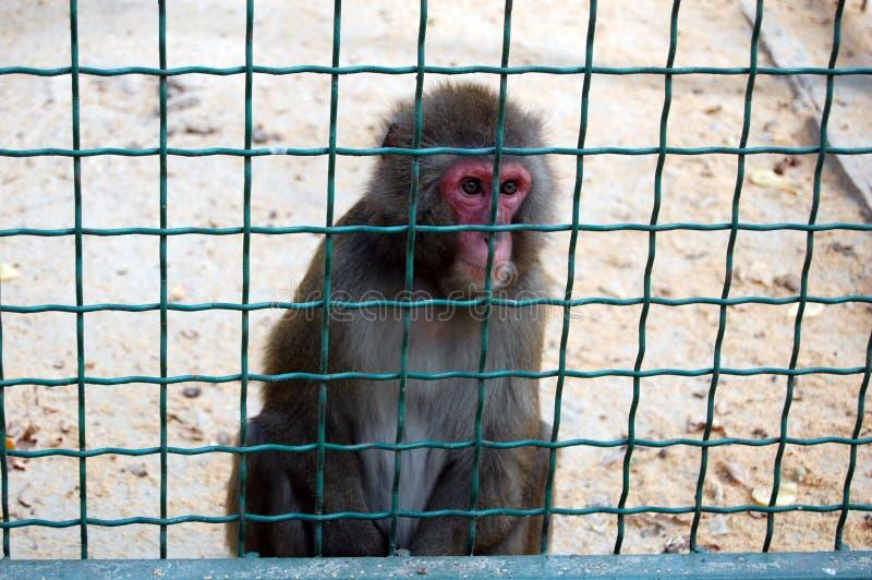 Una scimmia in uno zoo fotografia stock libera da diritti
