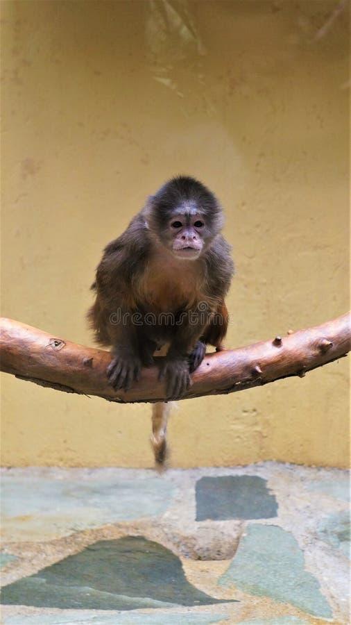 Una scimmia in uno zoo fotografia stock