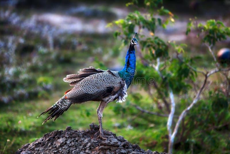 Una señora Peacock con el cambio de paso maravilloso en el Yala Nationalpark foto de archivo libre de regalías