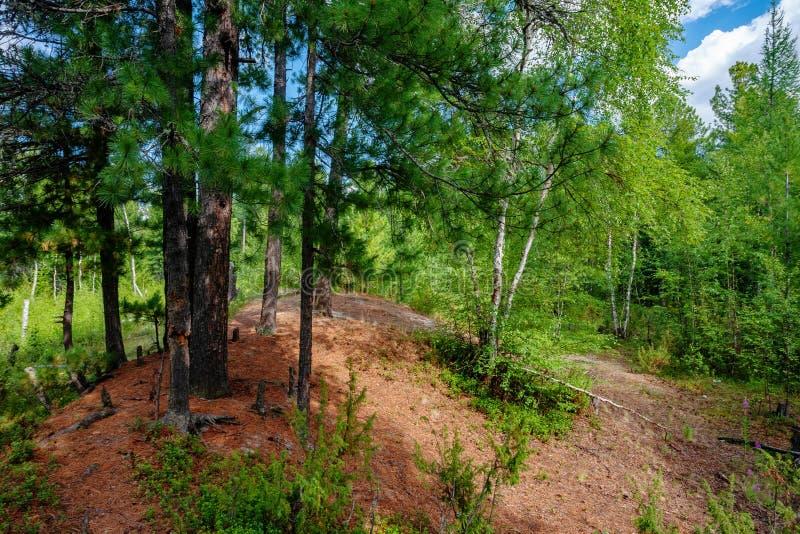 Una selva tropical primitiva hermosa con Cedar Trees Covered místico con el musgo imagen de archivo