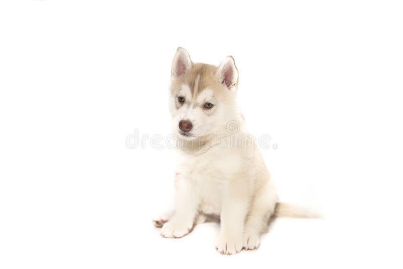Una sentada fornida del perrito, aislada en el fondo blanco imagenes de archivo
