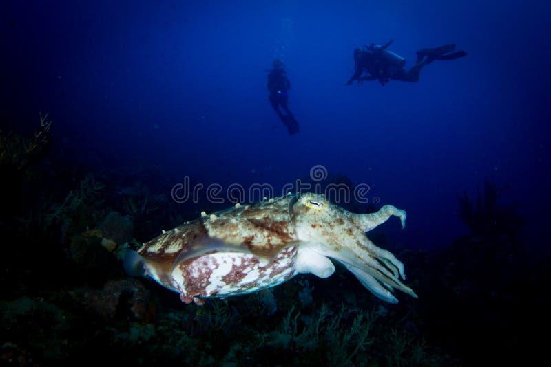 Una seppia di Broadclub - sepia latimanus fotografia stock libera da diritti