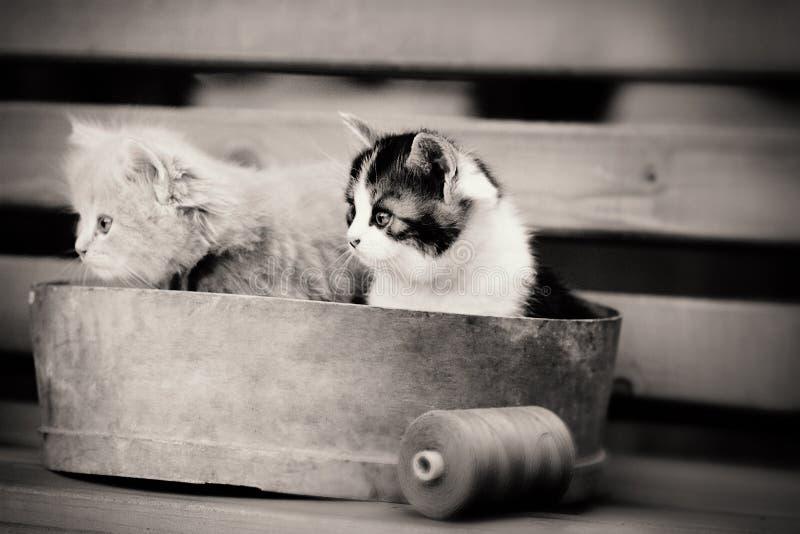 Una seppia di due gattini fotografia stock