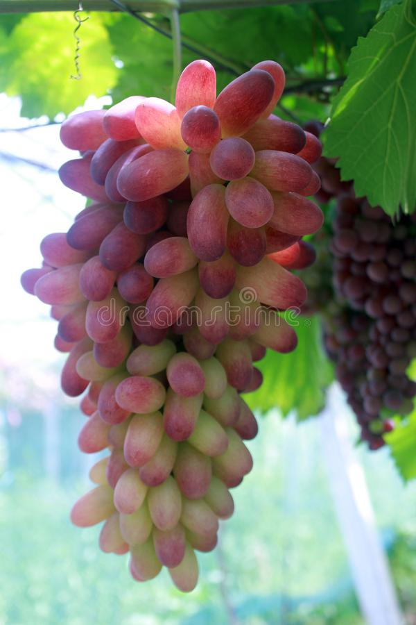Una serie lunga di uva passa porpora immagine stock libera da diritti