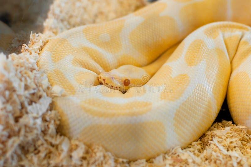 Una serpiente amarilla de oro hermosa de Python fotos de archivo