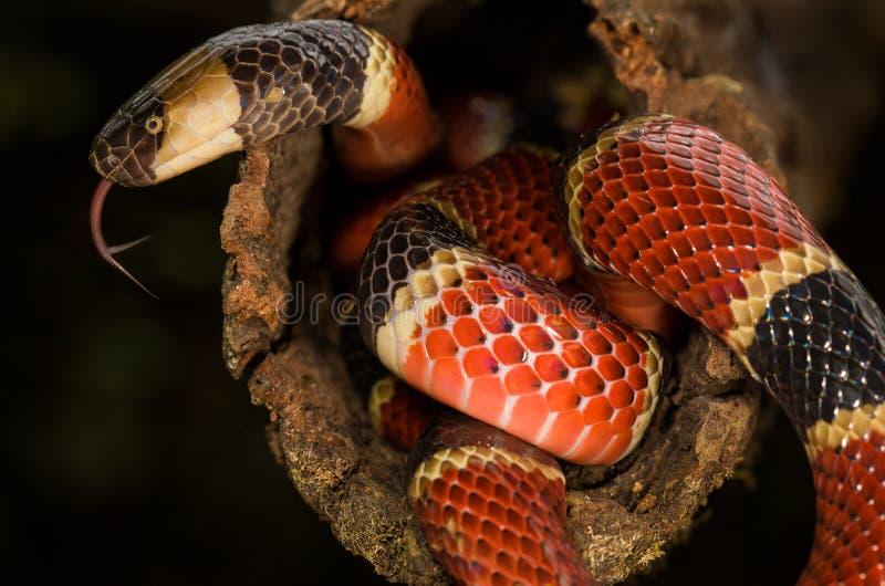 Una serpiente coralina rican de la costa fotografía de archivo libre de regalías