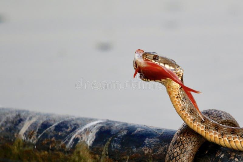 Una serpiente de agua imágenes de archivo libres de regalías