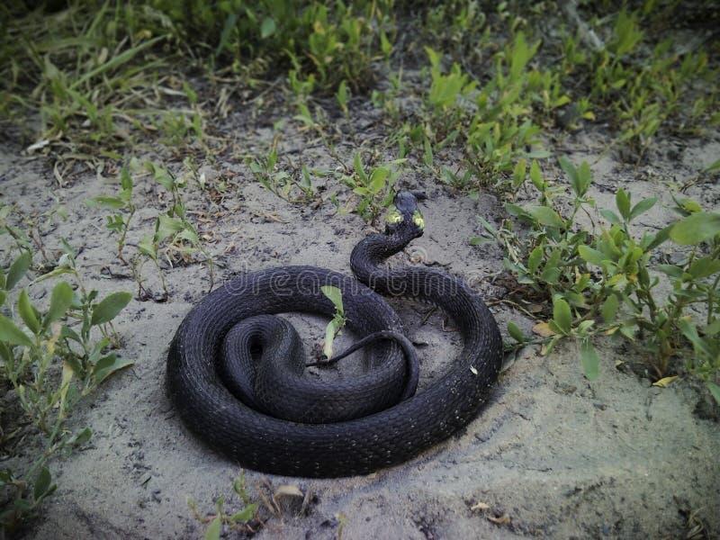 Una serpiente de hierba en la arena fotos de archivo