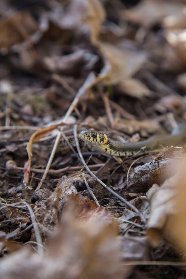 Una serpiente de hierba hermosa en las hojas de otoño pasadas de los años imágenes de archivo libres de regalías