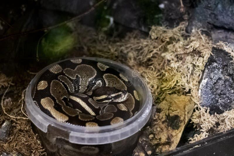 Una serpiente gris grande se encrespó para arriba en un envase de plástico fotografía de archivo