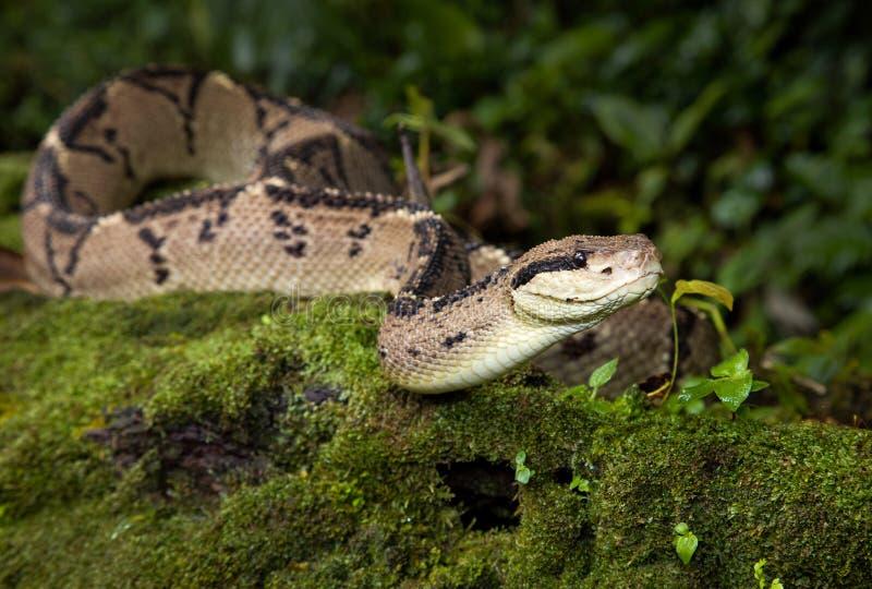 Una serpiente venenosa del bushmaster imagen de archivo