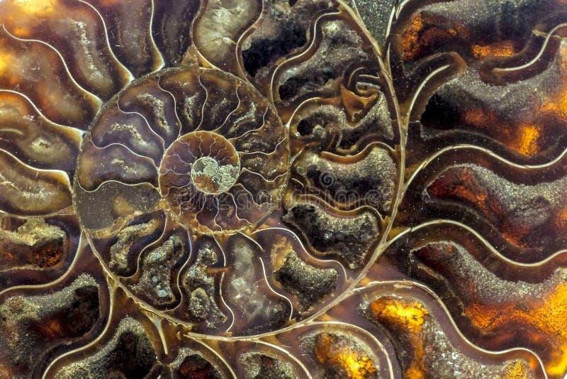 Una sezione trasversale fossilizzata del ammolite della pietra preziosa visualizza la struttura fotografie stock libere da diritti