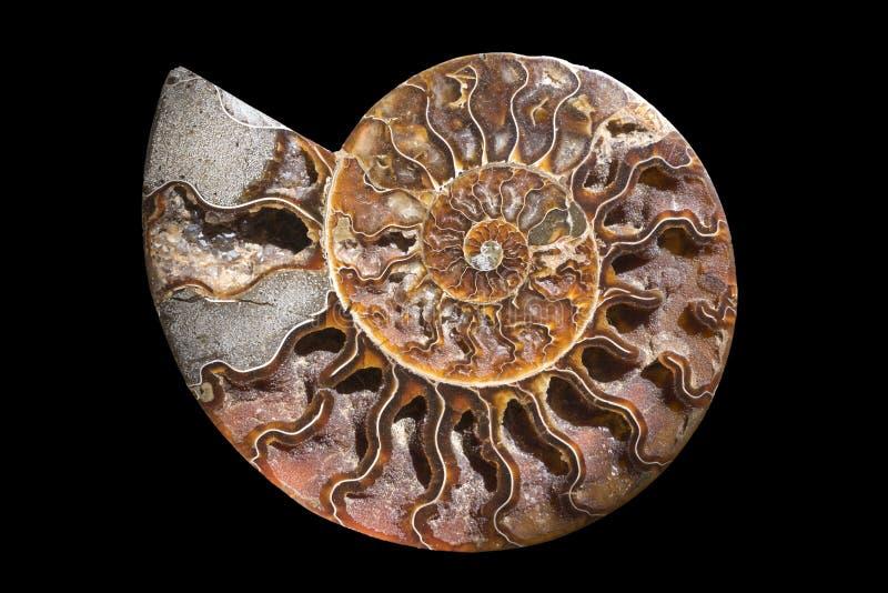 Una sezione trasversale fossilizzata del ammolite della pietra preziosa visualizza la struttura Fossile di nautilus fotografia stock