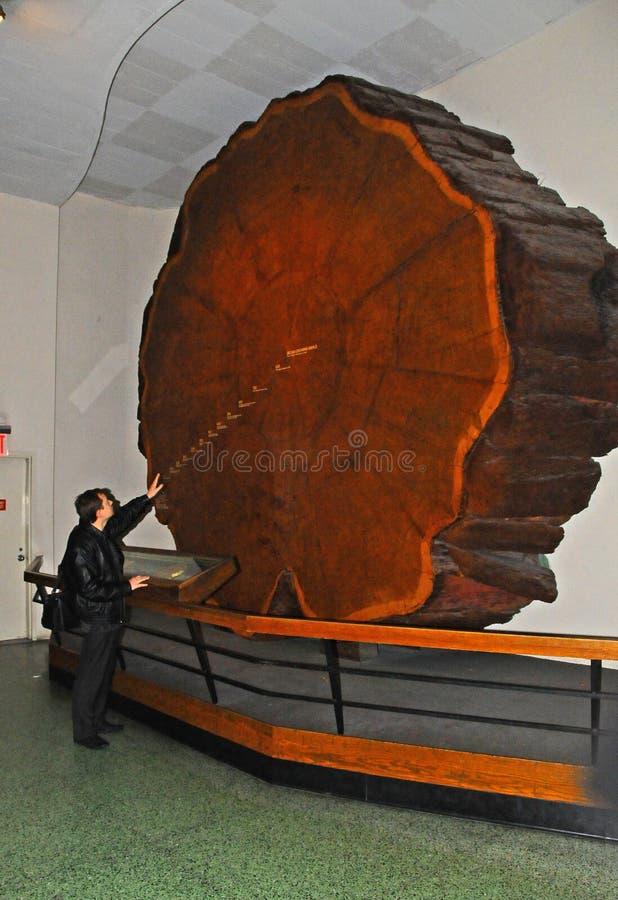 Una sierra cortada de un conífero gigante del segundo en la exposición del museo, los anillos de los árboles están marcados en el imagen de archivo