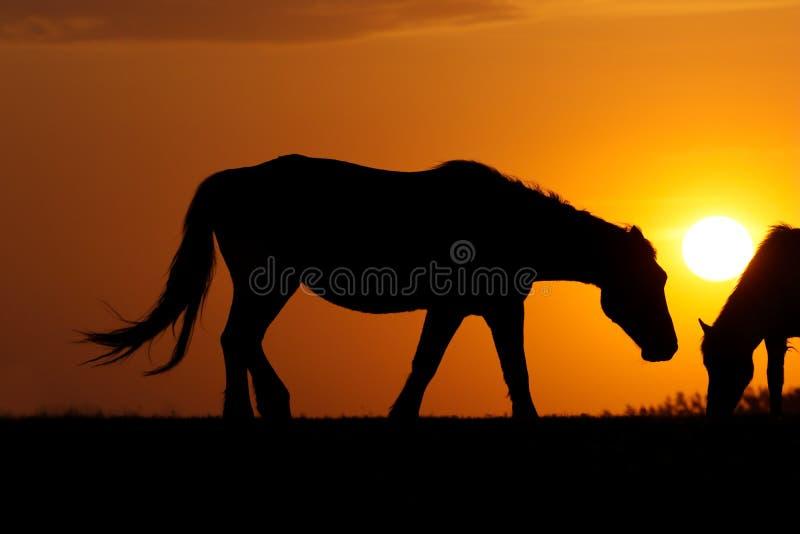 Una siluetta di due cavalli sul tramonto immagine stock