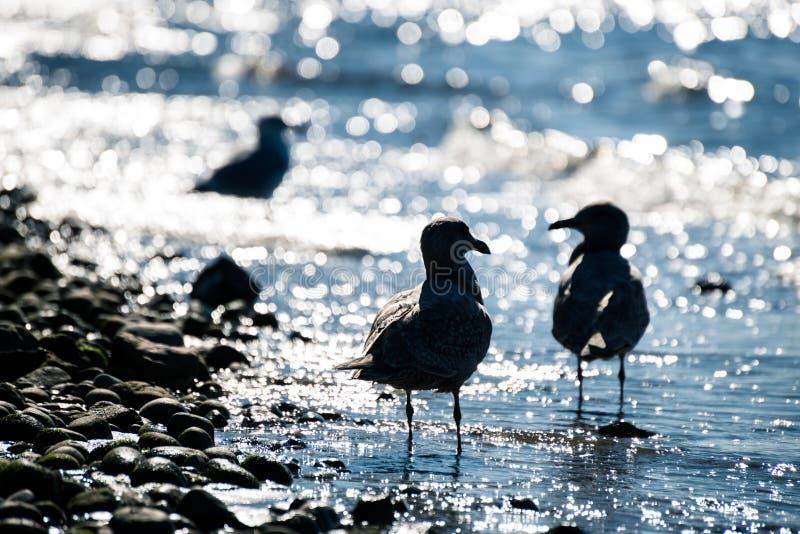 Una siluetta di due gabbiani nell'acqua sulla spiaggia che se esamina fotografie stock