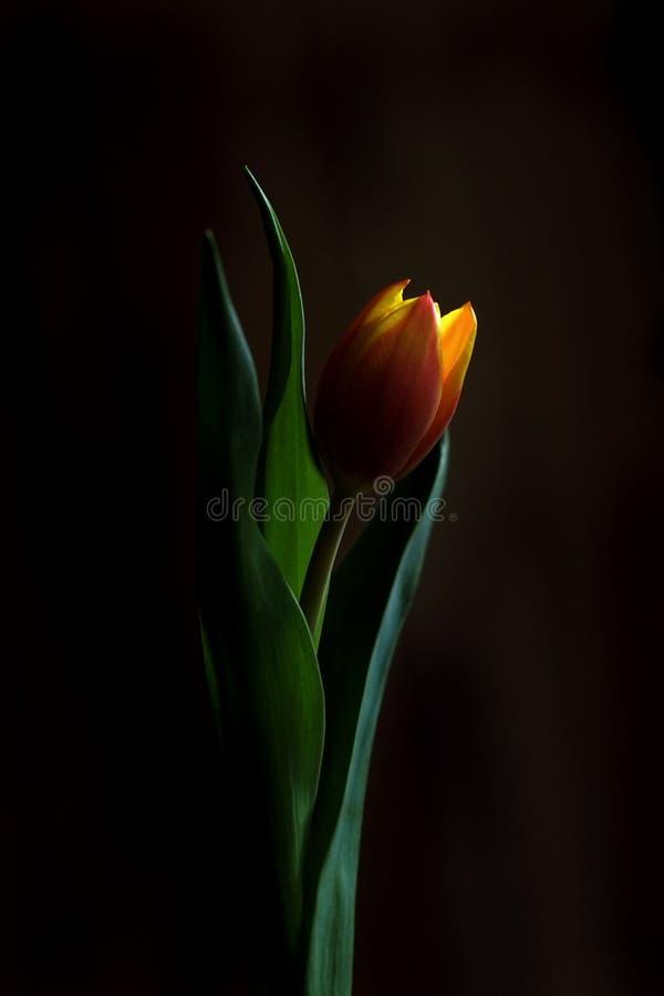 Una singola arancia e un tulipano giallo Romantico e afoso fotografia stock libera da diritti