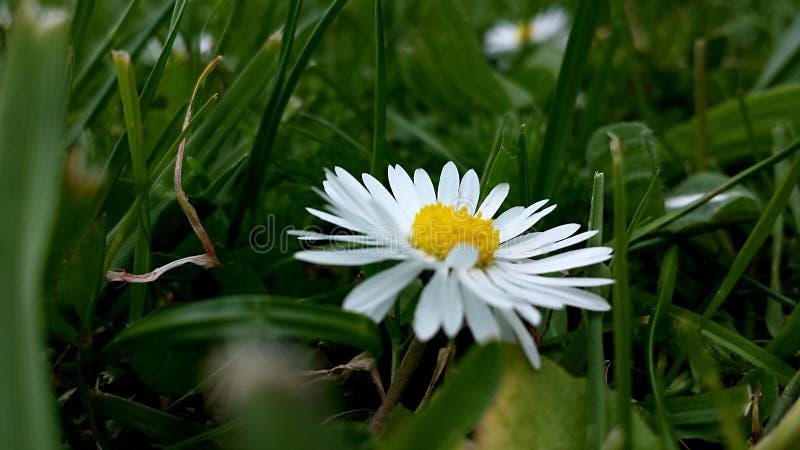 Una singola margherita comodamente nell'erba fotografia stock libera da diritti