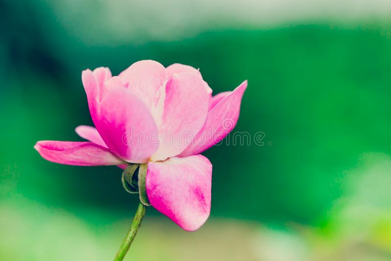 Una singola rosa rosa e bianca contro un bokeh verde intenso immagini stock libere da diritti