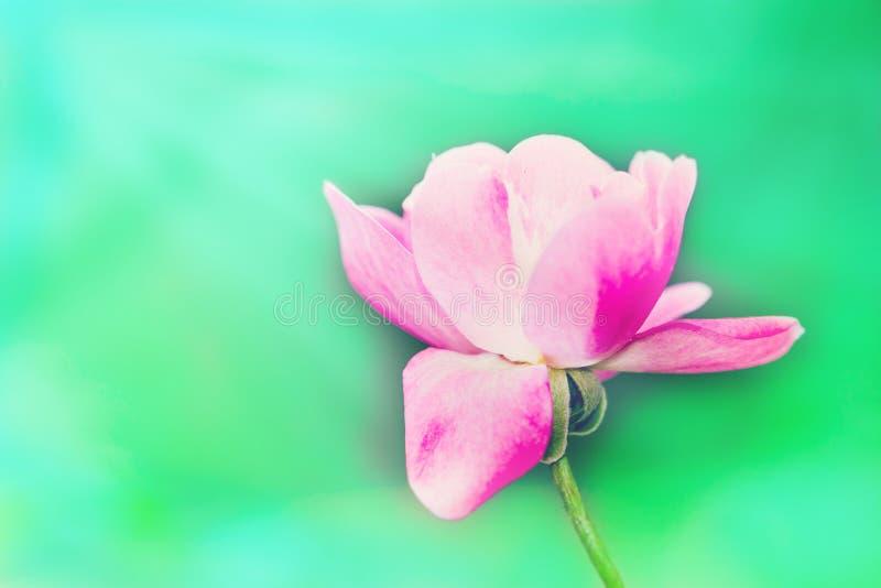 Una singola rosa rosa e bianca isolata contro un verde intenso dal fondo del fuoco immagini stock