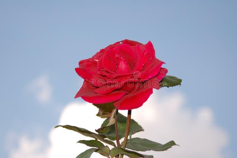 Una singola rosa nel cielo immagini stock