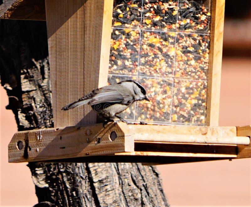 Una sitta sull'alimentatore dell'uccello fotografia stock