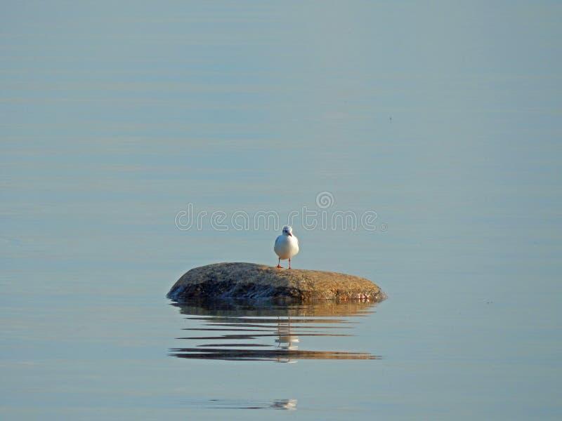 Una situación de la gaviota en una roca en el mar fotos de archivo