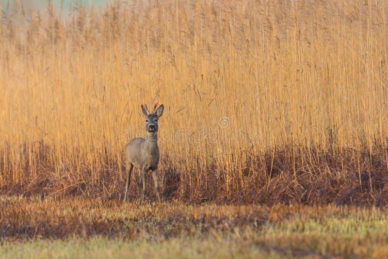 Una situación joven de los ciervos del capreolus del corzo delante de la correa de lámina foto de archivo libre de regalías