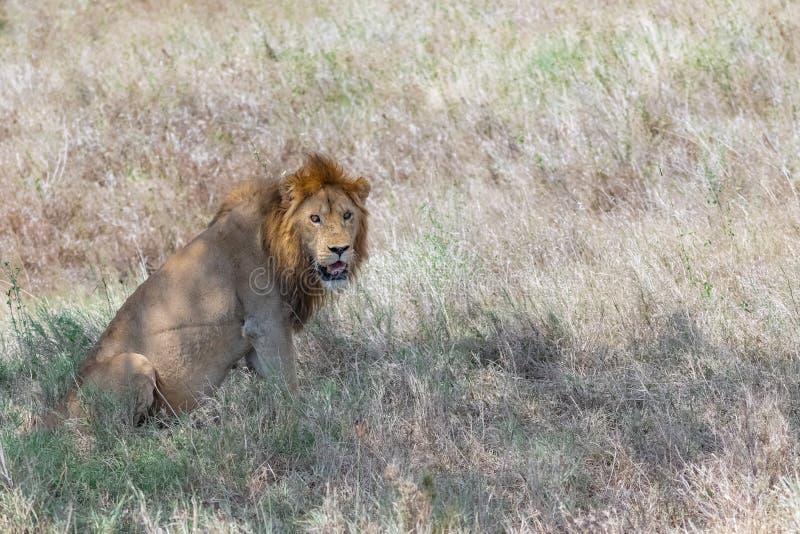 Una situación joven del león fotografía de archivo