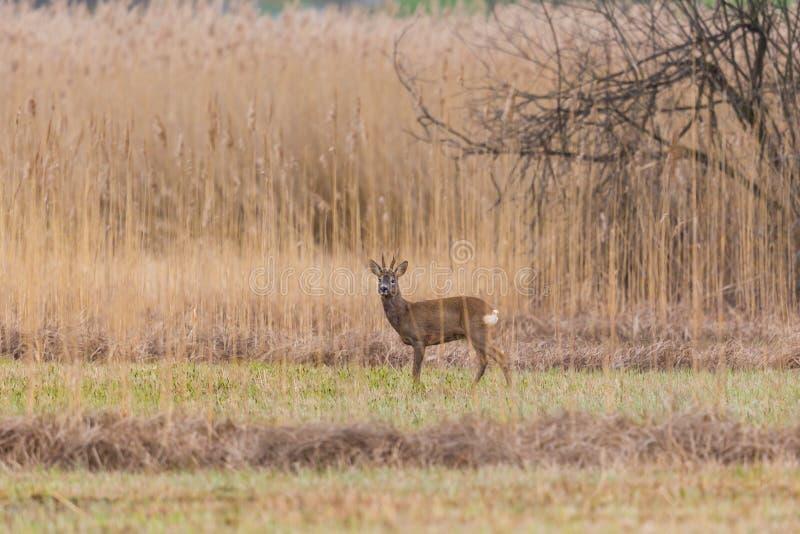 Una situación masculina del capreolus del capreolus del dólar de los ciervos de huevas en prado de lámina imagen de archivo libre de regalías