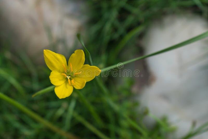 Una sola flor amarilla del lirio de día capturó del top imagenes de archivo