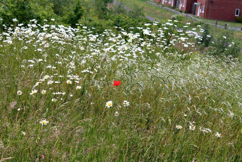 Una sola flor roja brillante rodeada por las tarimas salvajes en un día de verano en Inglaterra imágenes de archivo libres de regalías