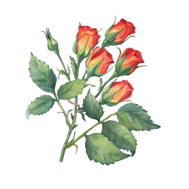 Una sola rama de mini rosas rojo-anaranjadas con las hojas y el brote del verde ilustración del vector