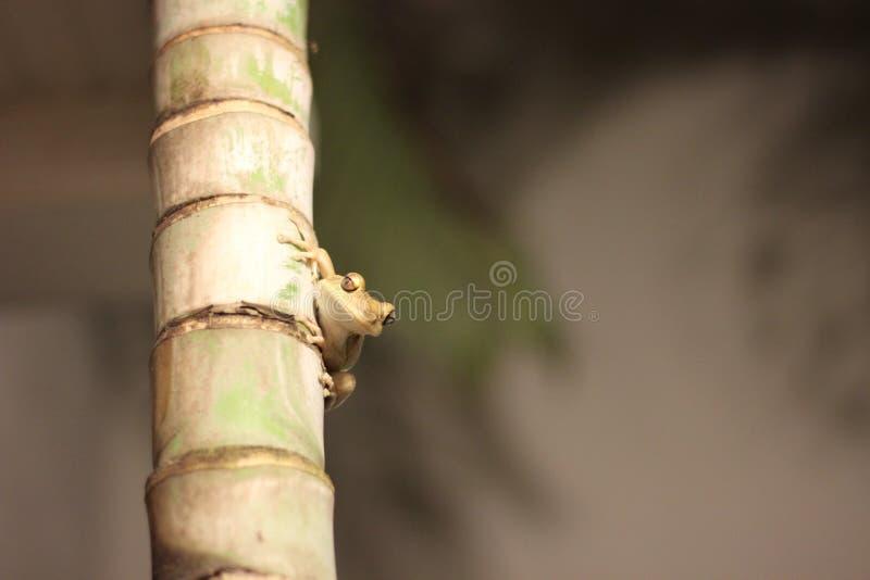 Una sorveglianza della rana di albero fotografia stock
