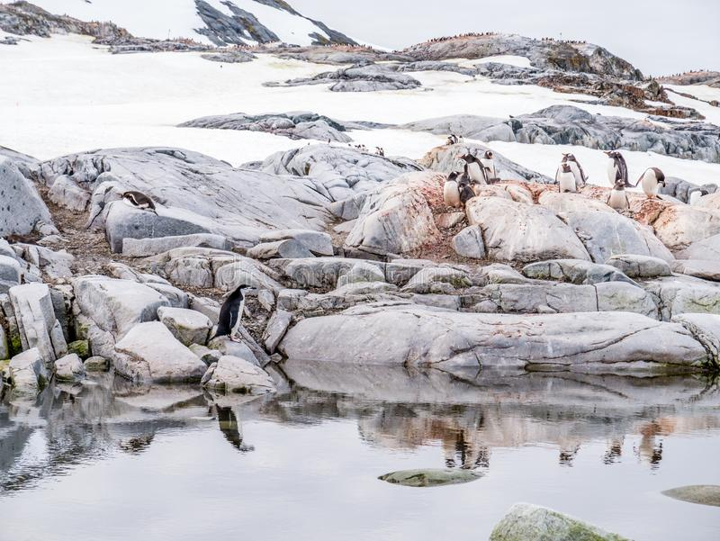 Una sottogola e pinguini di gentoo sulle rocce vicino ad acqua su Peterma fotografia stock