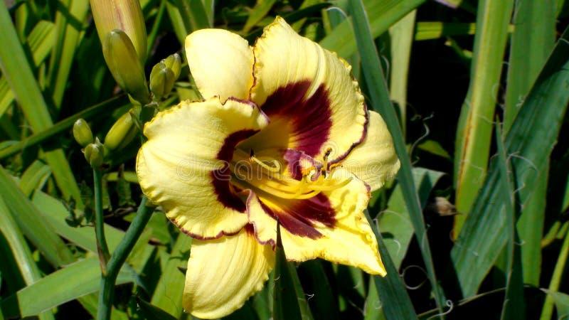 Una specie di El Desperado di giallo a fiore grande in un giardino Chiusura di fioritura in giallo di Eemerocallis immagine stock libera da diritti