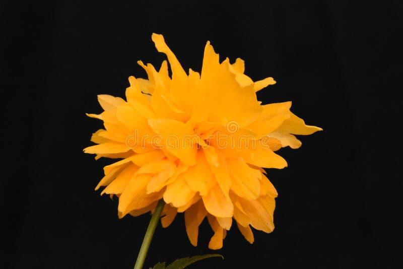 Una spruzzata di colore - una Rosa giapponese di inverno immagine stock