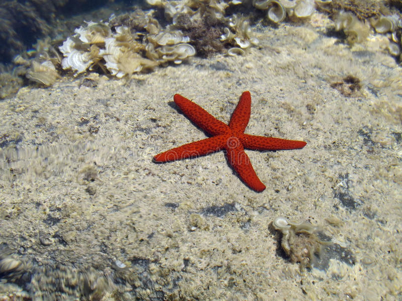 Una stella marina rossa fotografie stock libere da diritti