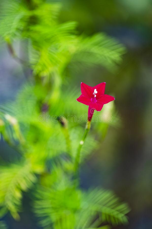 Una stella rossa nasce fotografie stock libere da diritti
