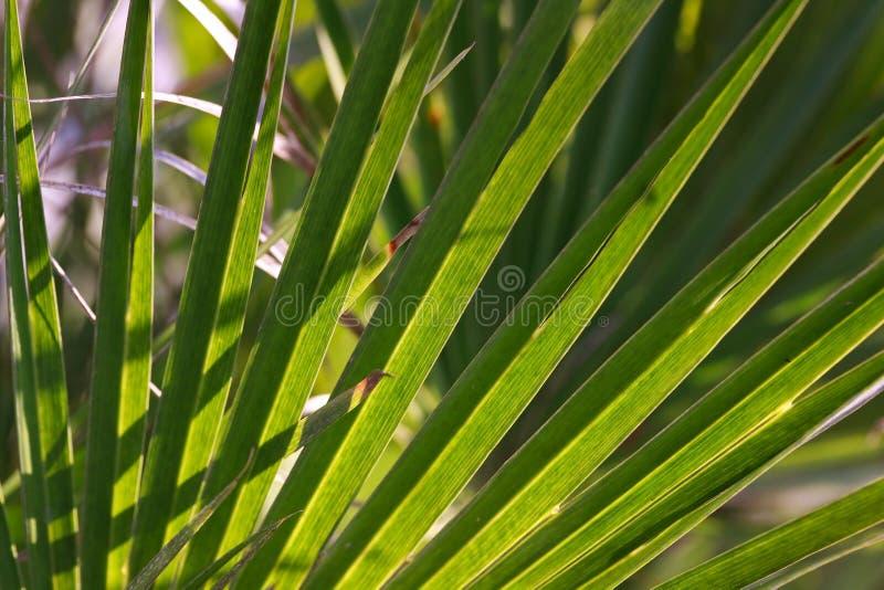 Una struttura verde dello strato della palma fotografia stock libera da diritti