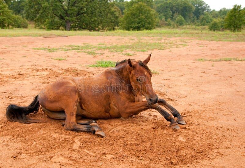 Una suciedad cubrió el caballo árabe que se levantaba fotos de archivo