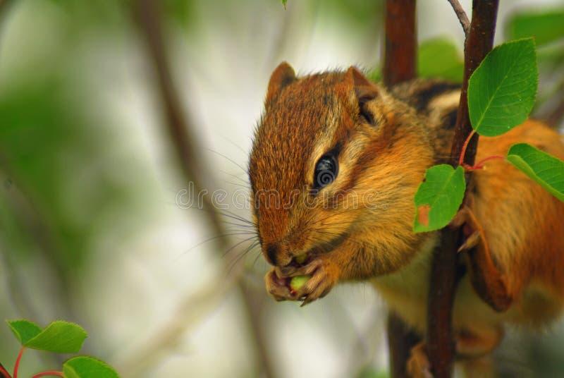 Una tamia appollaiata in un albero che mangia una bacca fotografia stock