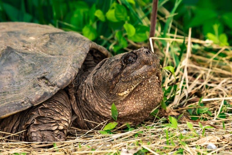 Una tartaruga di schiocco che riposa nell'erba immagine stock