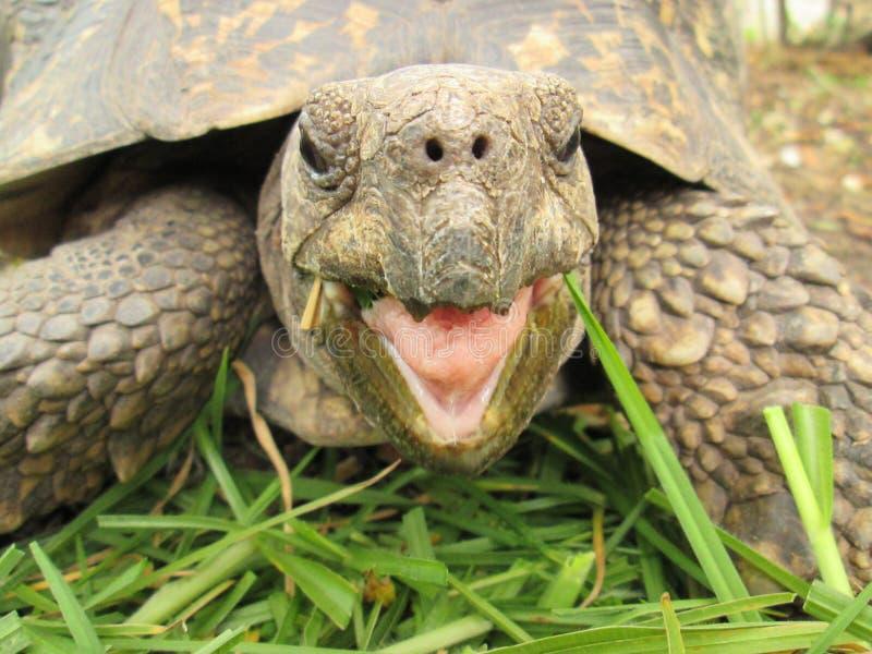 Una tartaruga di sguardo felice che mangia erba immagine stock libera da diritti