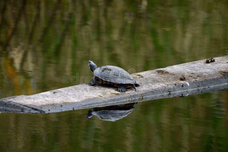 Una tartaruga rossa dell'orecchio fotografia stock